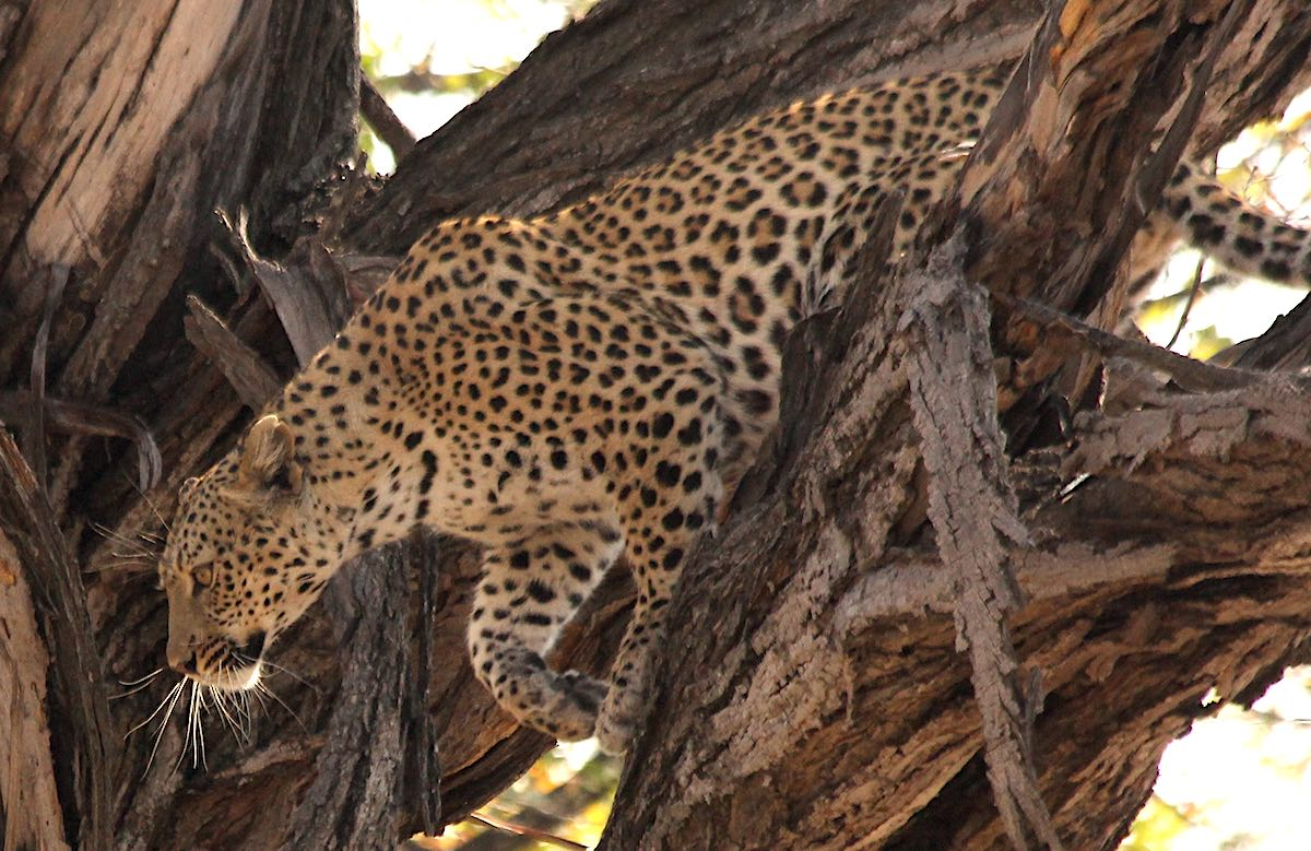 A female leopard clambers through the brances of a large tree.